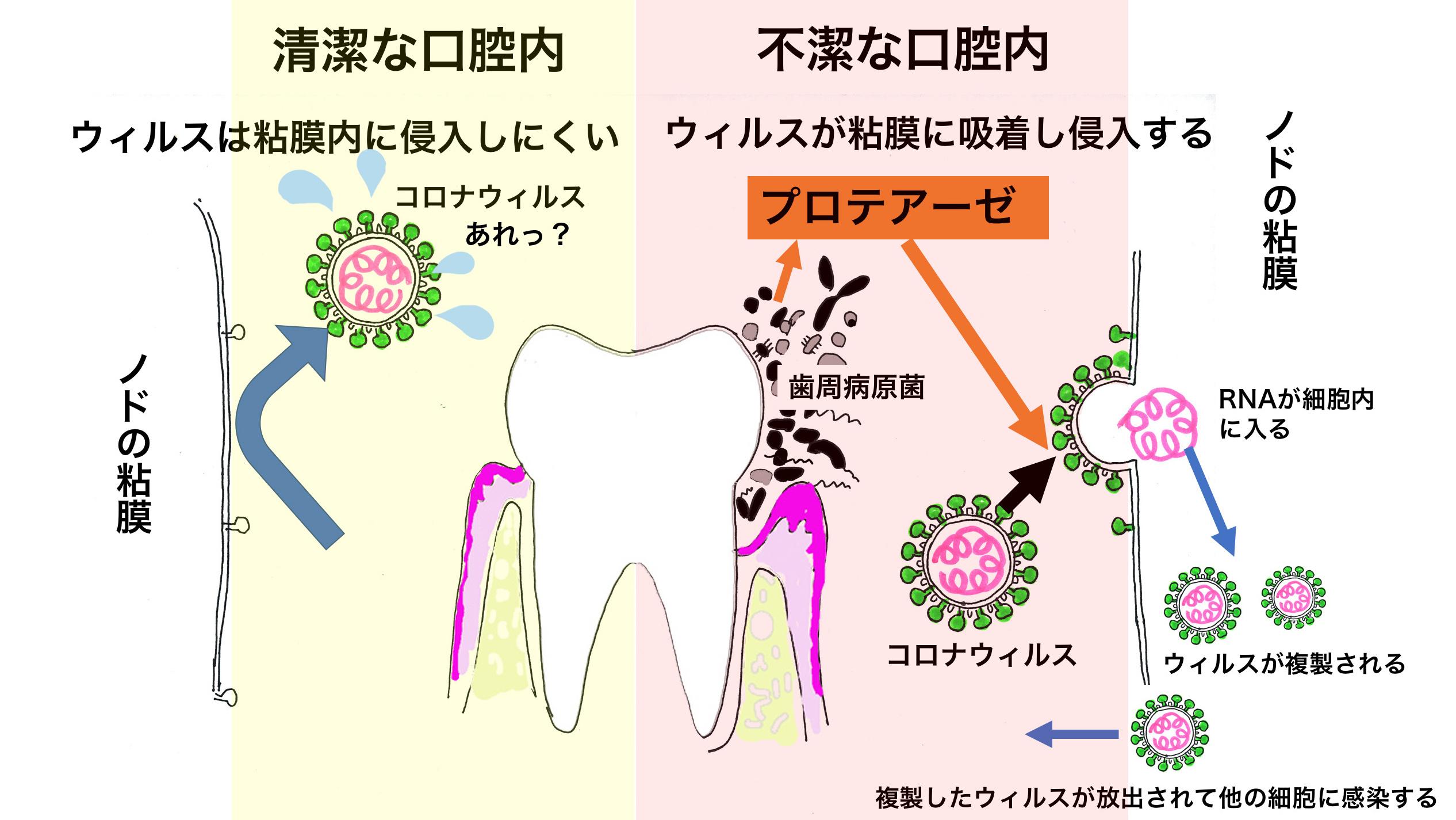 COVID-19(新型コロナウィルス感染症)予防にも歯みがきがとても重要!